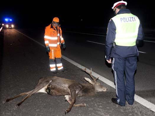 Der Hirsch überlebte den Unfall auf der A14 nicht.