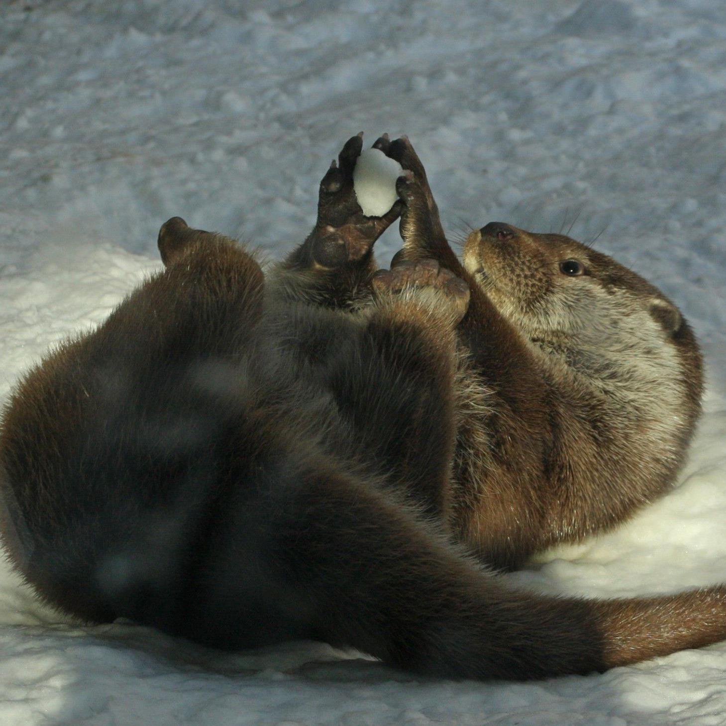 Die Fischotter im Salzburger Zoo freuen sich über den vielen Schnee.