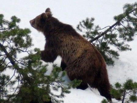"""Bären wie M 13 sind """"Individualisten wie wir Menschen""""."""