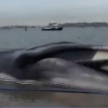 Geringe Überlebenschancen hat dieser gestrandete Finnwal vor New York.