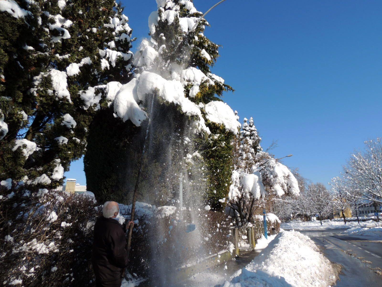 Der großgewachsene Lebensbaum wird vom umsichtigen Hausbesitzer vom Schnee befreit