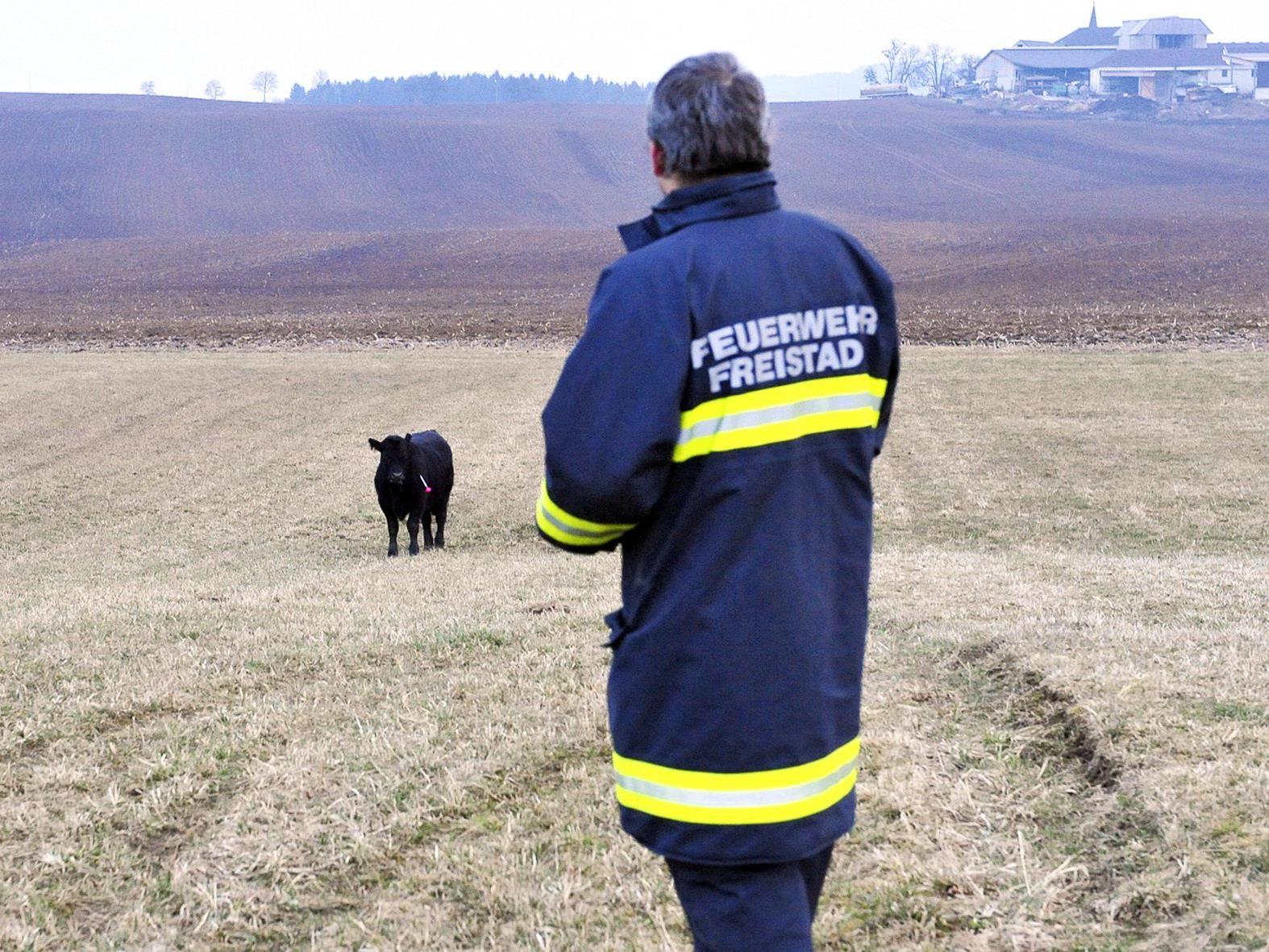 Insgesamt 43 Rinder entkamen am Donnerstag aus einer umzäunten Weide im Bezirk Freistadt.