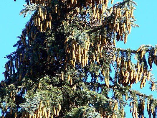 Die zehn Meter lange Fichte ist als Maibaum nicht mehr zu verwenden.