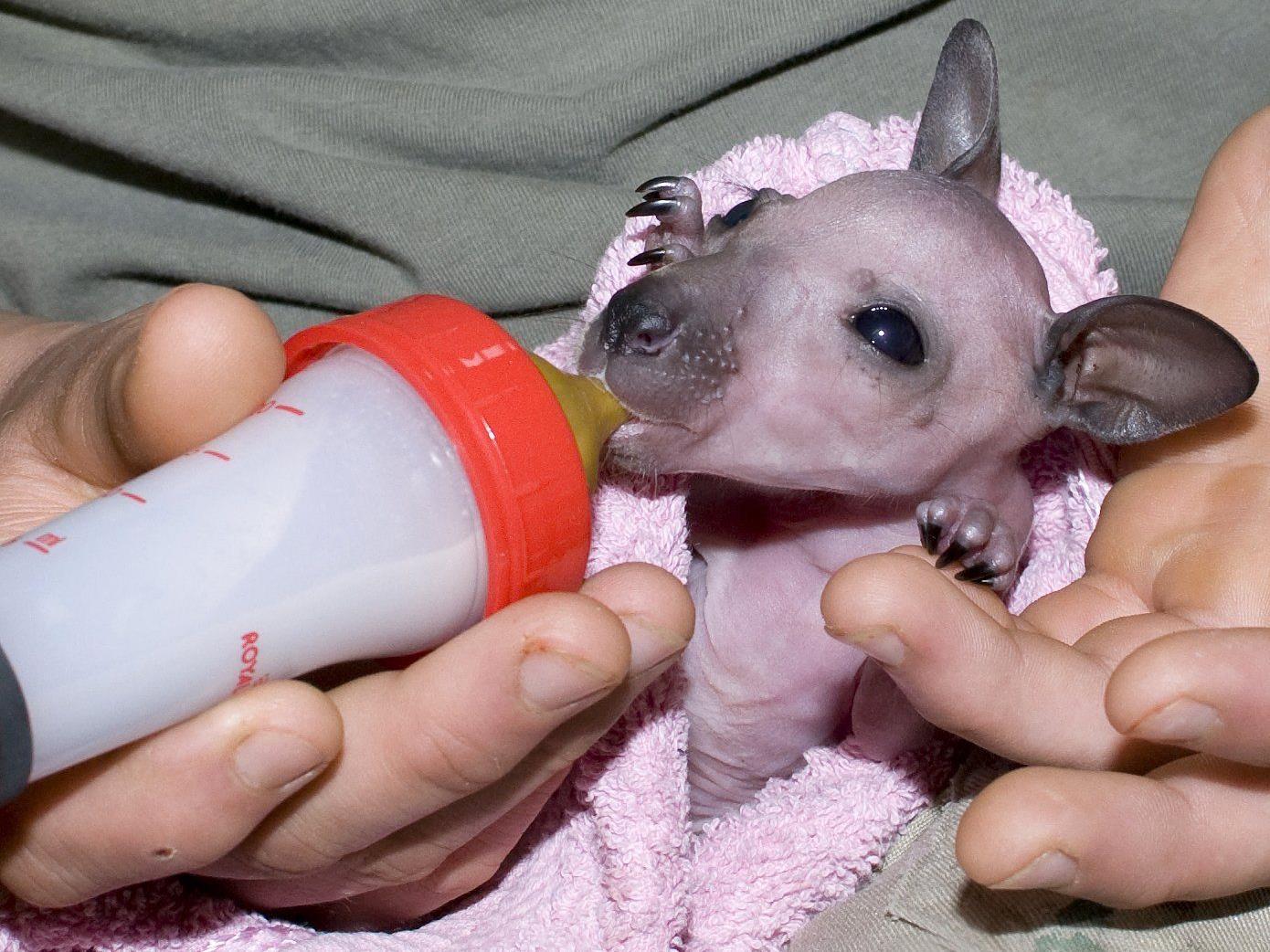 """""""Sit"""", das noch nackte Kängurubaby wird mit der Flasche im Zoo Schmiding aufgezogen."""