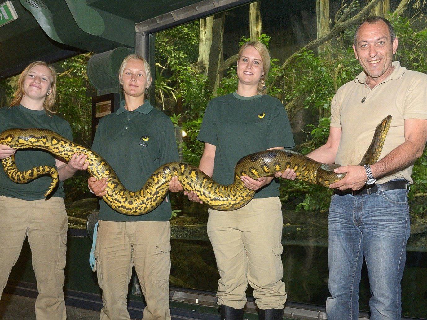 Ab sofort kann das Anakonda-Männchen im Tiergarten bestaunt werden.