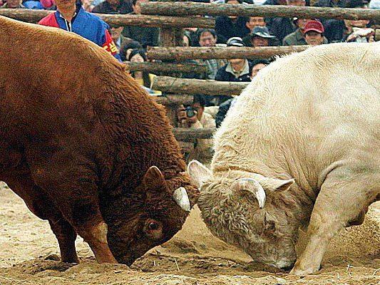 Im traditionellen japanischen Stierkampf treffen zwei Stiere aufeinander.