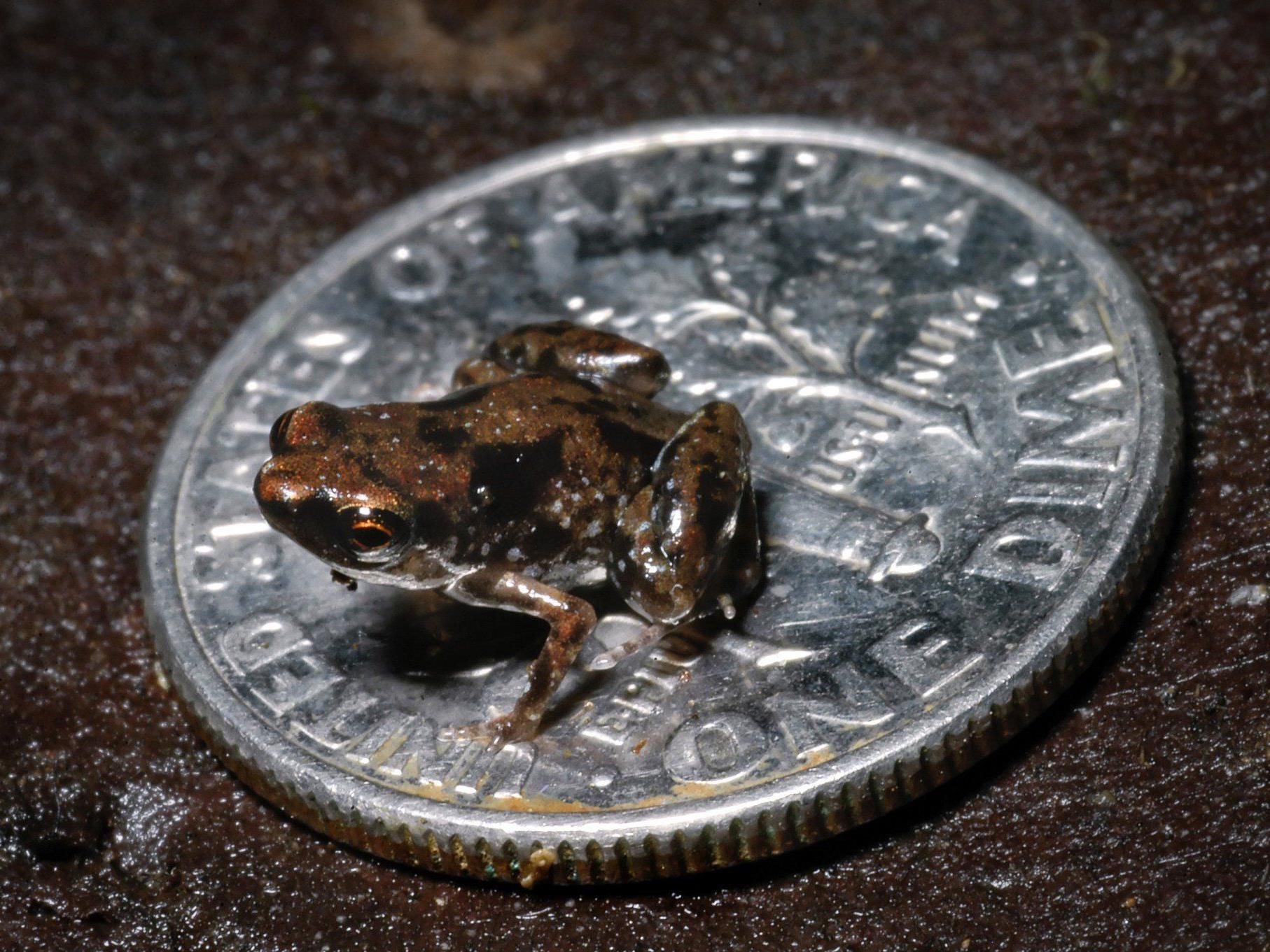 Sieben Millimeter großer Frosch ist das kleinste bekannte Wirbeltier der Welt.
