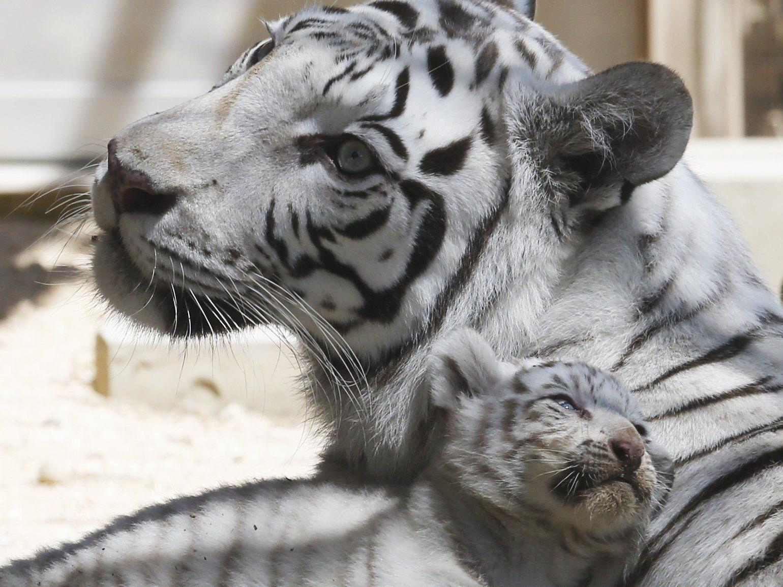 Der weiße Tiger: Eine bezaubernde Laune der Natur - Probleme wie Missbildungen Folge der anhaltenden Inzucht.