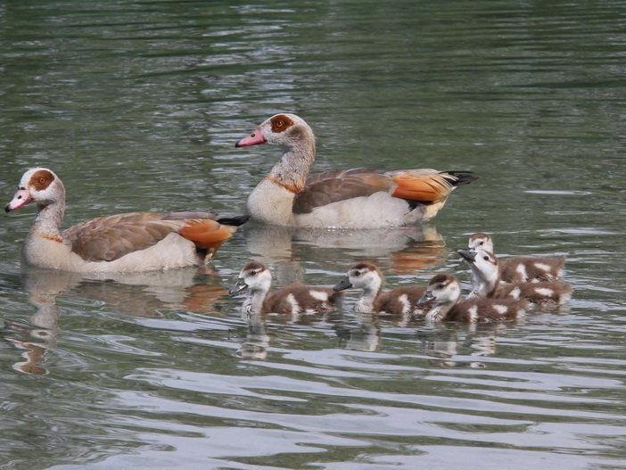 Das Nilgans-Pärchen brachte fünf Jungvögel im Erholungsgebiet Paspels zur Welt.