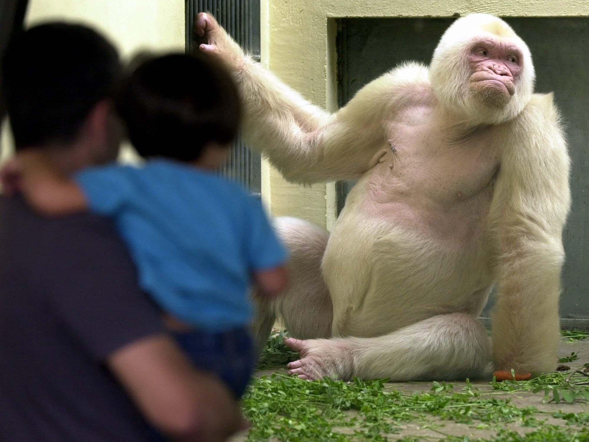 """Albino-Gorilla: Eltern von """"Schneeflöckchen"""" waren eng verwandt."""