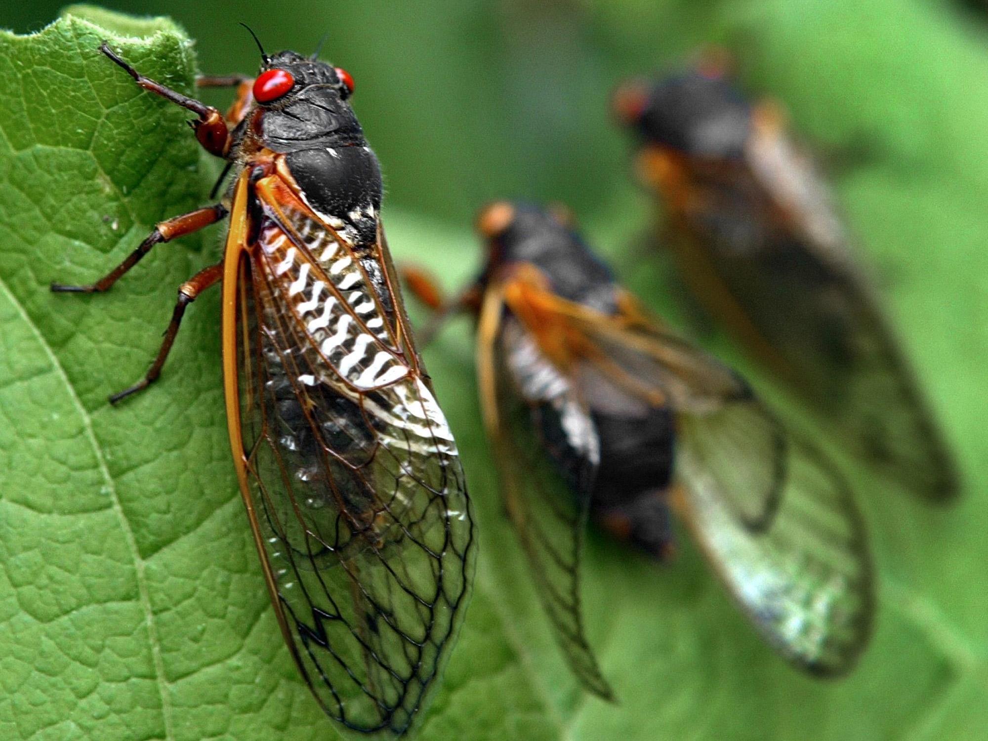 Vierwöchige Insektenplage in den USA.