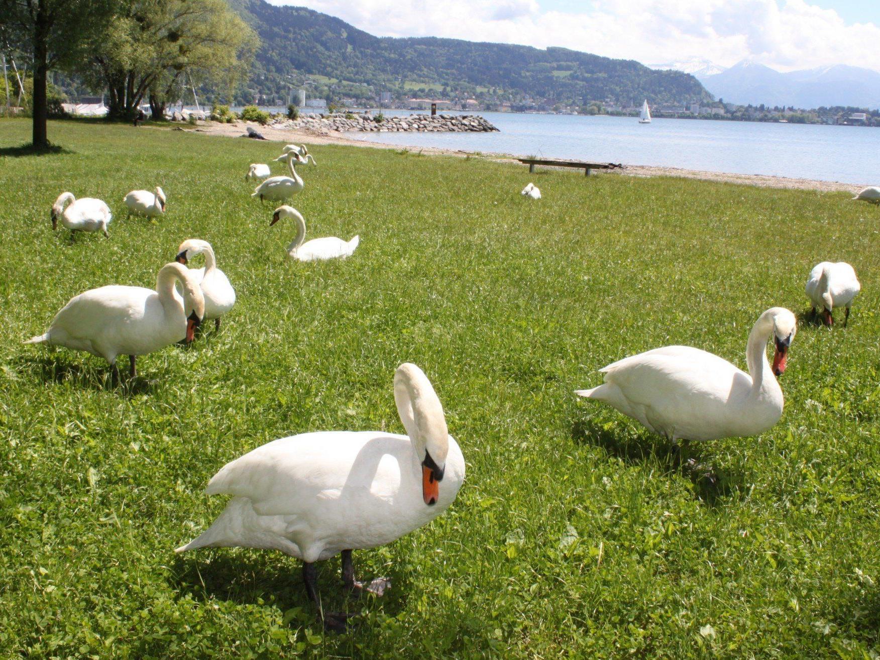 Stolze Bodenseeschwäne grasen auf den Liegewiesen am heimischen Bodenseeufer.