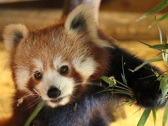 Die in freier Wildbahn gefährdeten roten Pandas kommen aus Zoos in Polen und Frankreich.