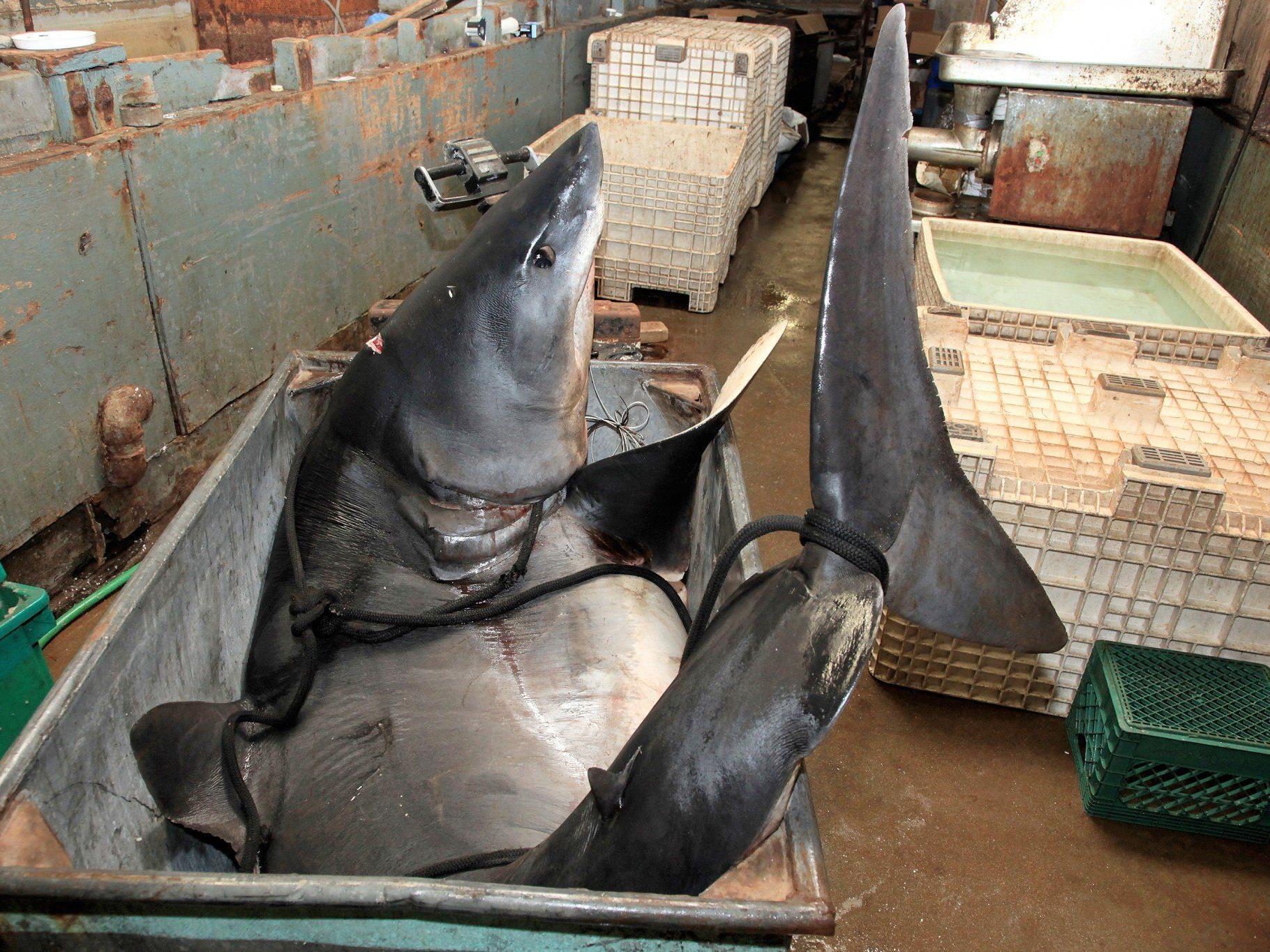 Künftig dürfen Fischer nur noch Haie mit intakten Flossen an Land bringen.