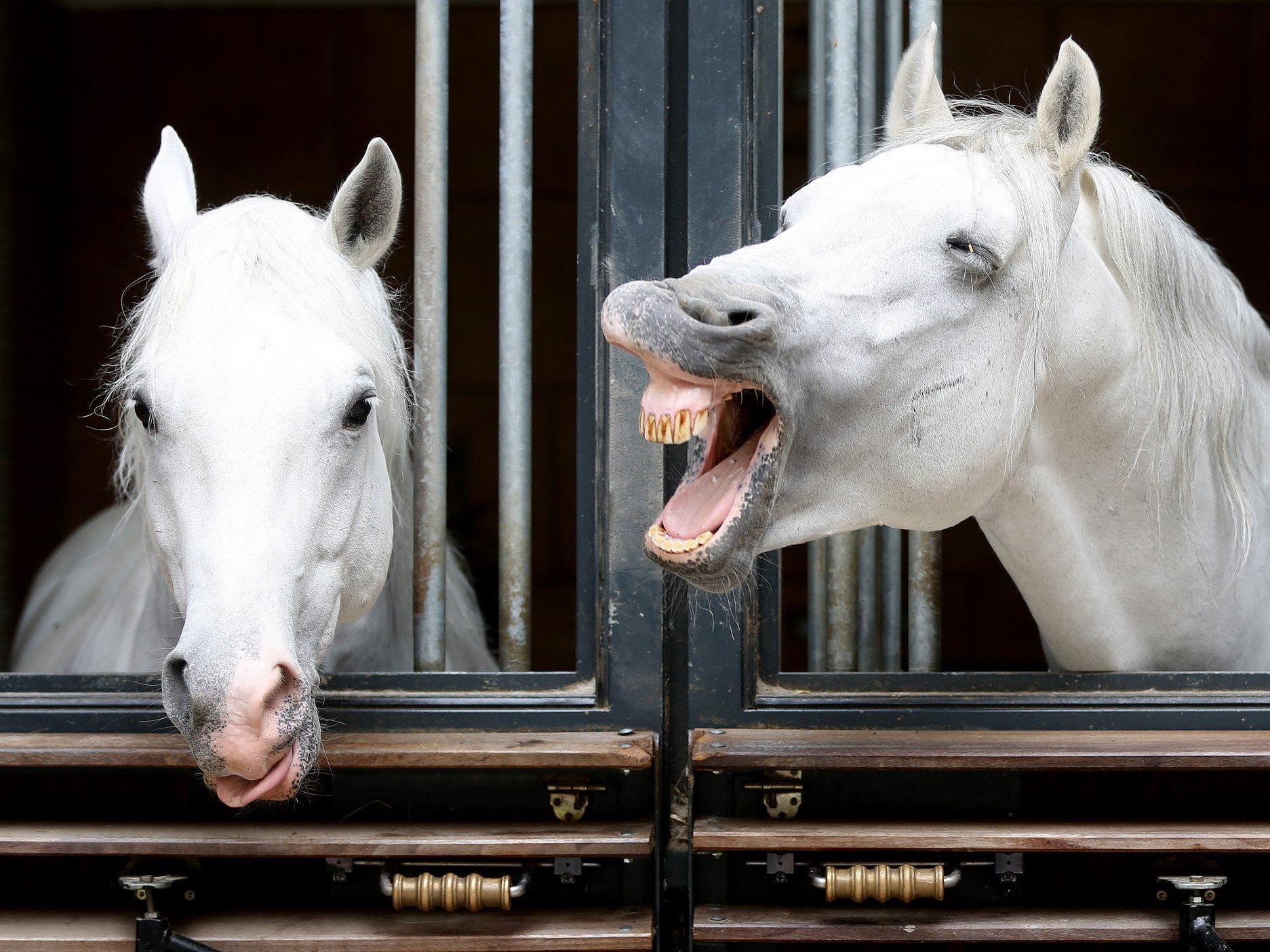 """Als Schutz vor Insekten werden die Pferde jetzt als Zebras """"verkleidet""""."""