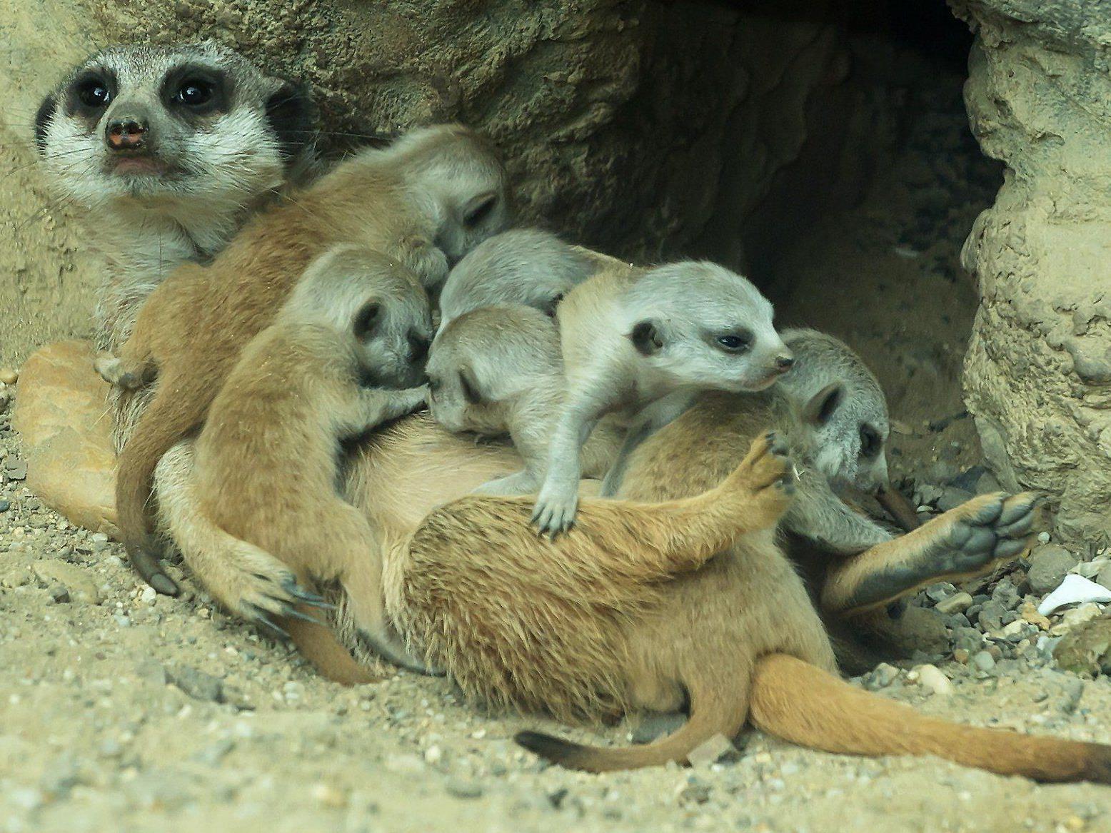 Im Tiergarten Schönbrunn erblickten gleich sechs Erdmännchen das Licht der Welt.