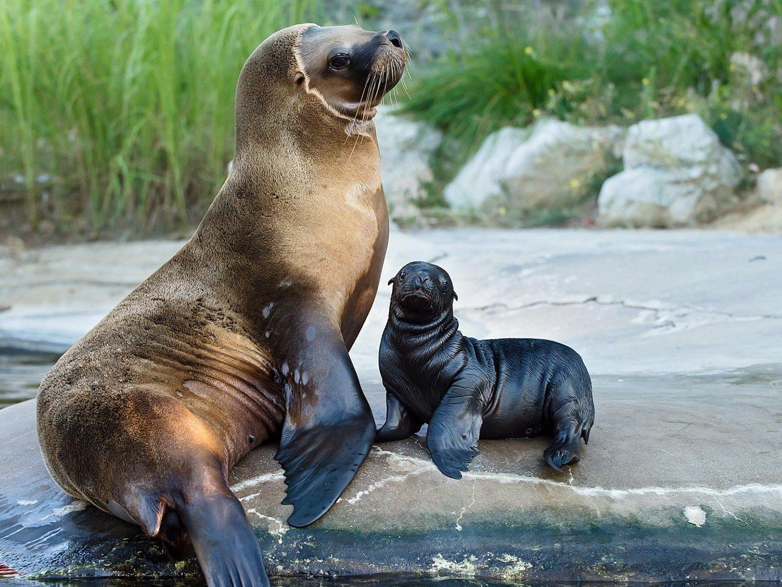 Der Tiergarten Schönbrunn freut sich über Nachwuchs bei den Robben.