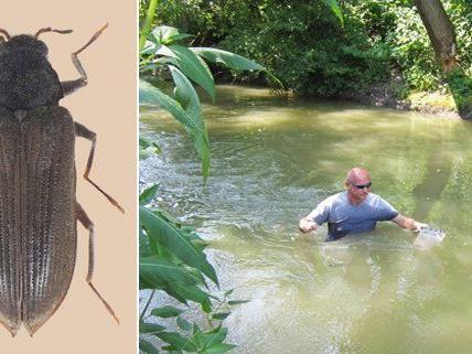 Der Wasserkäfer Experte Manfred Jäch des Naturhistorischen Museum in Russbach (NÖ) bei der Suche nach den Fluss-Krallenkäfer, die in Österreich bis zur Jahrtausendwende als ausgestorben galten.