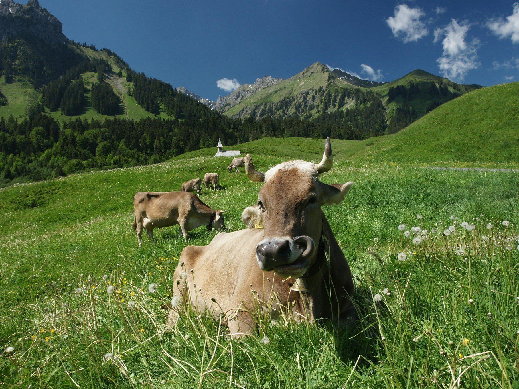 Rindertuberkulose in der Schweiz: Erreger aus Vorarlberg?