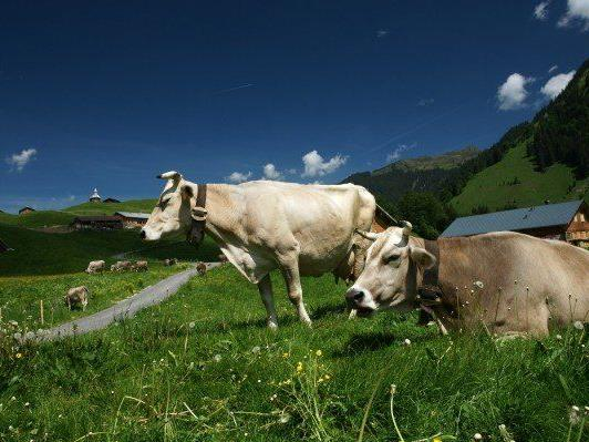 Seit viele Bauern mit hohen Rückforderungen konfrontiert sind, wird die Landespolitik aktiv. - © VOL.AT/Berchtold