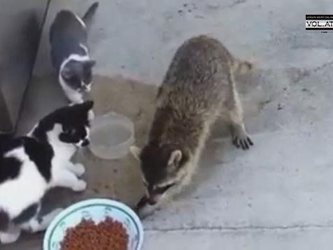 Der Waschbär hat Hunger - das freut die Katzen gar nicht.
