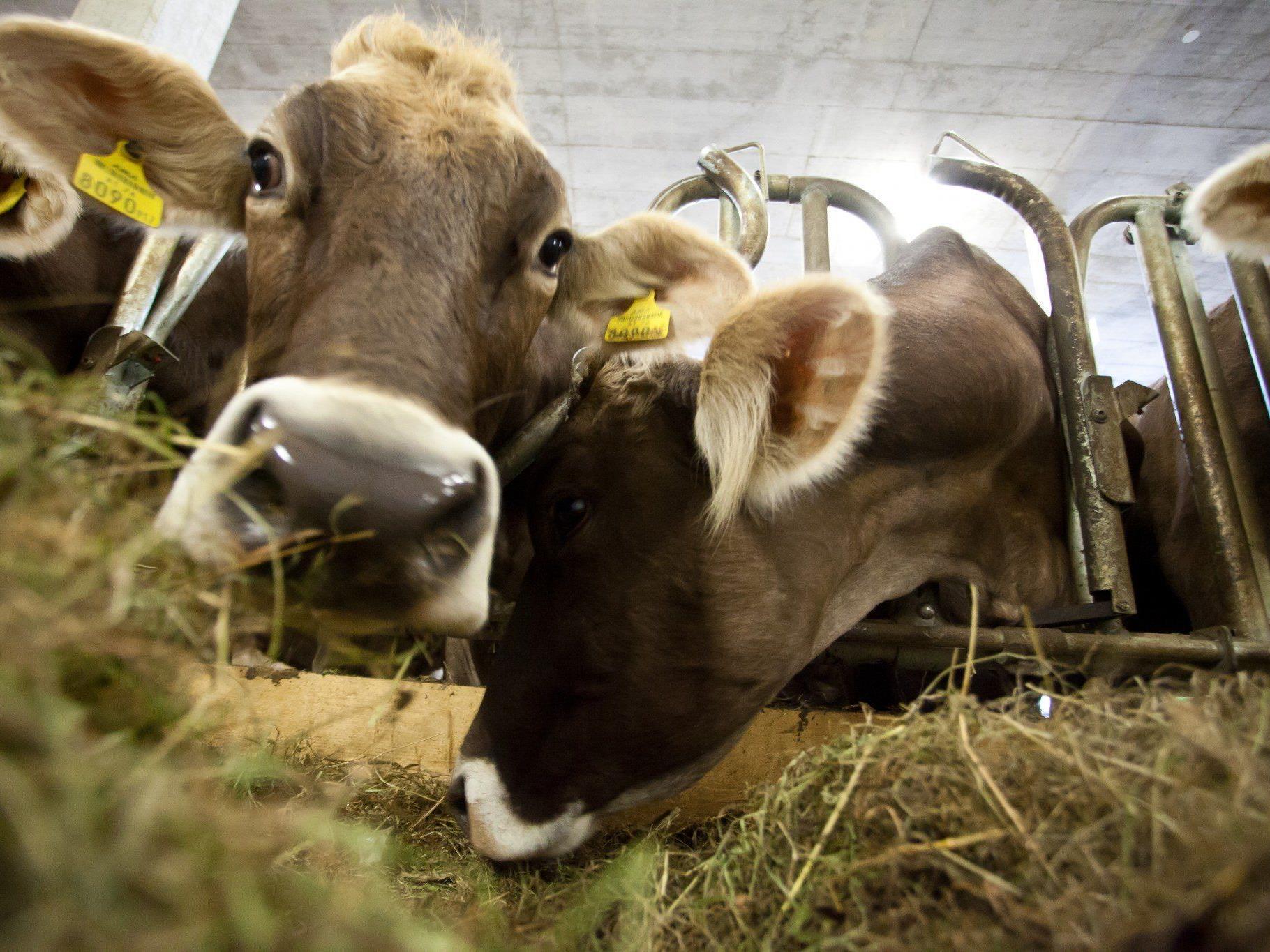 Rindertuberkulose ist eine anzeigepflichtige Tierseuche, die auf den Menschen übertragbar ist.