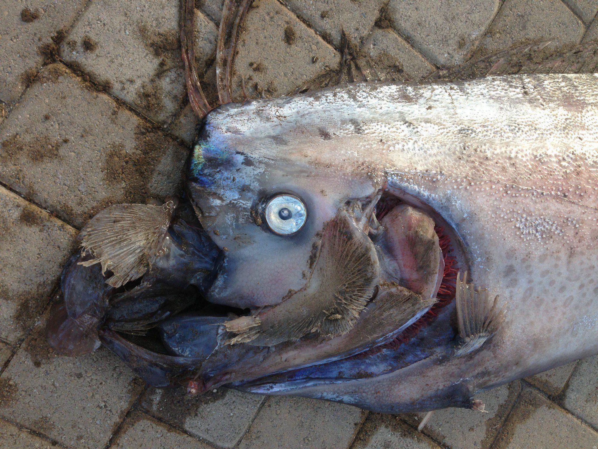 Dieser fünf Meter lange Riemenfisch wurde in Kalifornien gefunden.