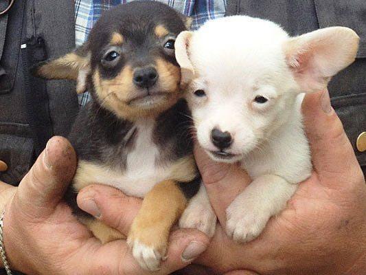 Kleine Hunde In Not Wiener Kampagne Gegen Illegalen Welpenhandel