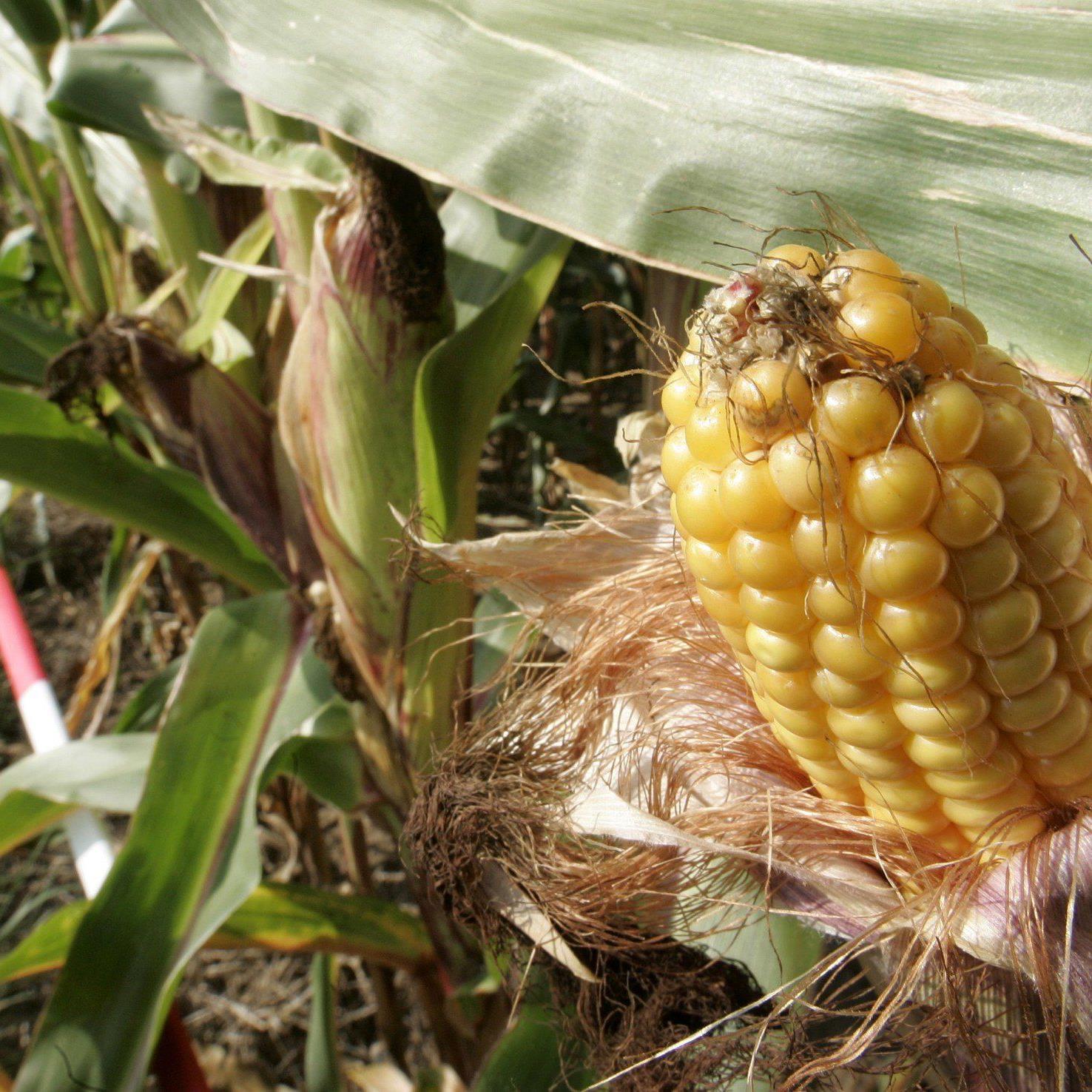Eine weitere genveränderte Maissorte könnte demnächst auf Europas Äckern wachsen.