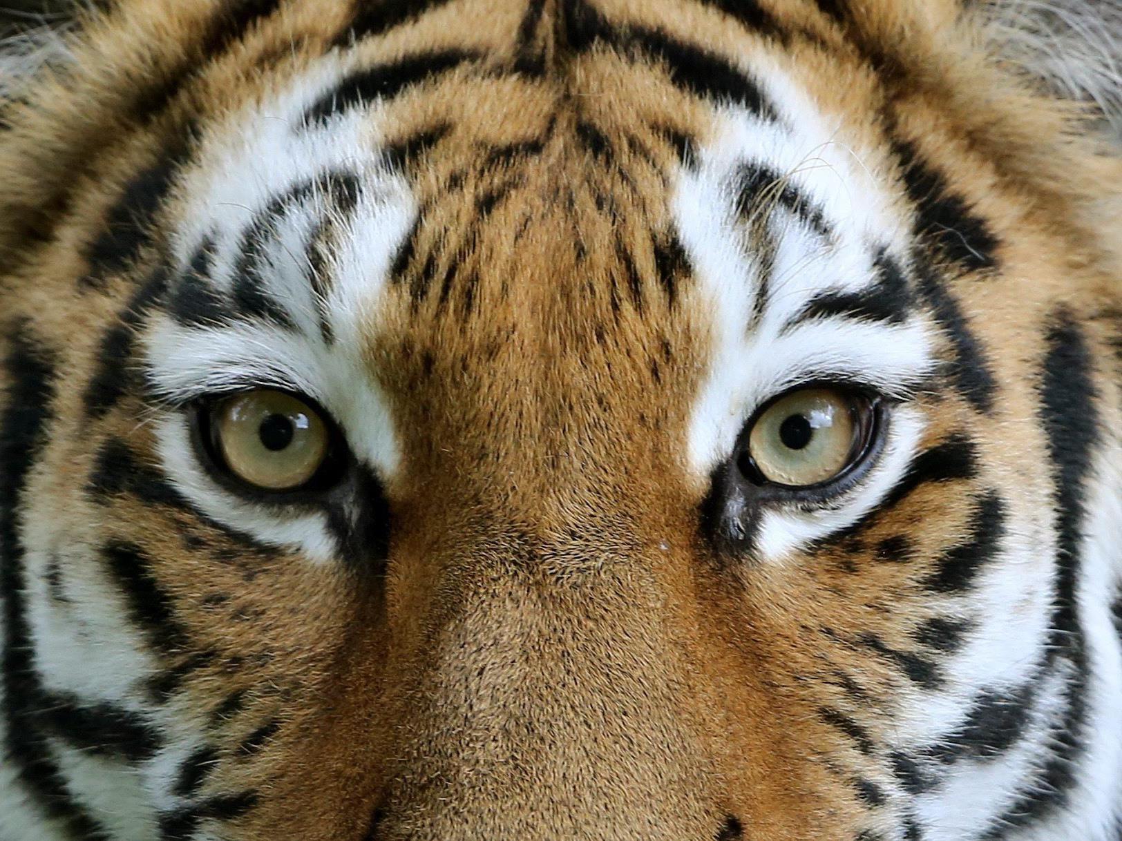 Der Tiger Yingying tötete einen 57-jährigen Tiergartwärter.
