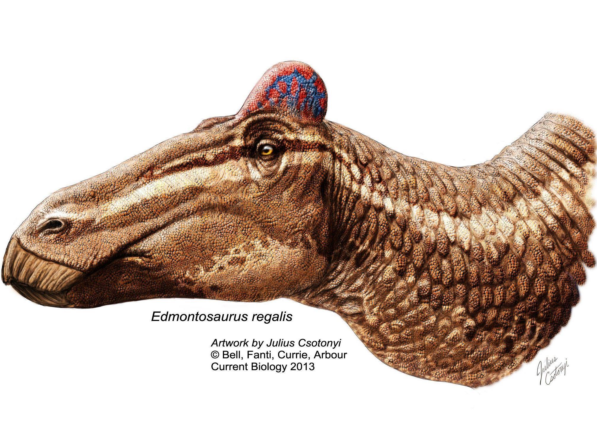 Die großen pflanzenfressenden Dinosaurier hatten zu ihrem Entenschnabel auch einen Kamm, ähnlich dem eines Hahnenkammes, auf dem Kopf.