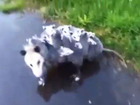 15 x Opossum auf einem Fleck.