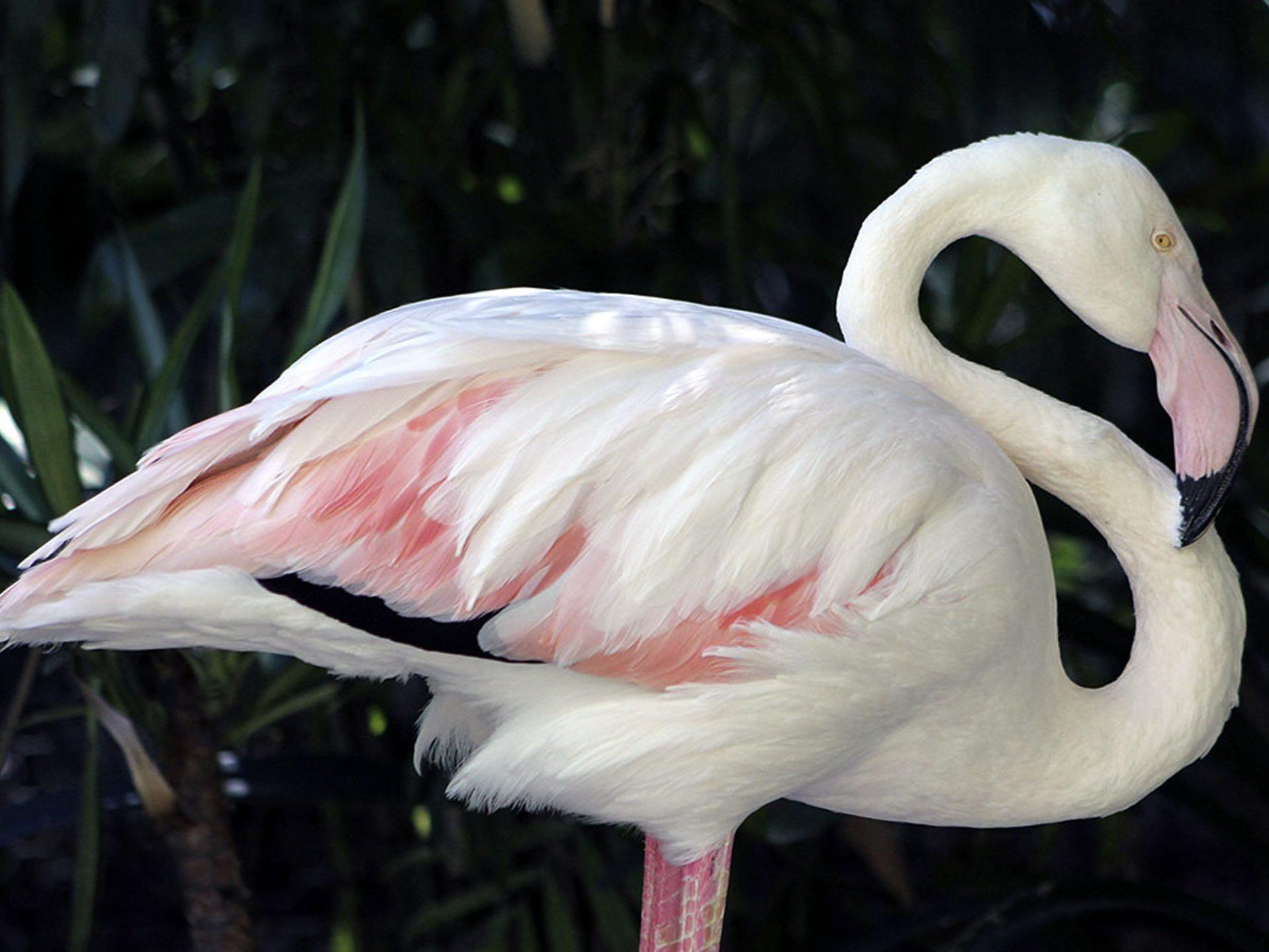 Der weltälteste Flamingo ist im Alter von 83-Jahren gestorben.