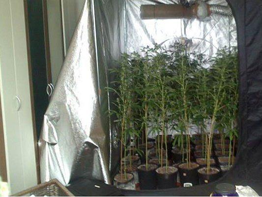 Die gefundene Cannabis-Plantagr