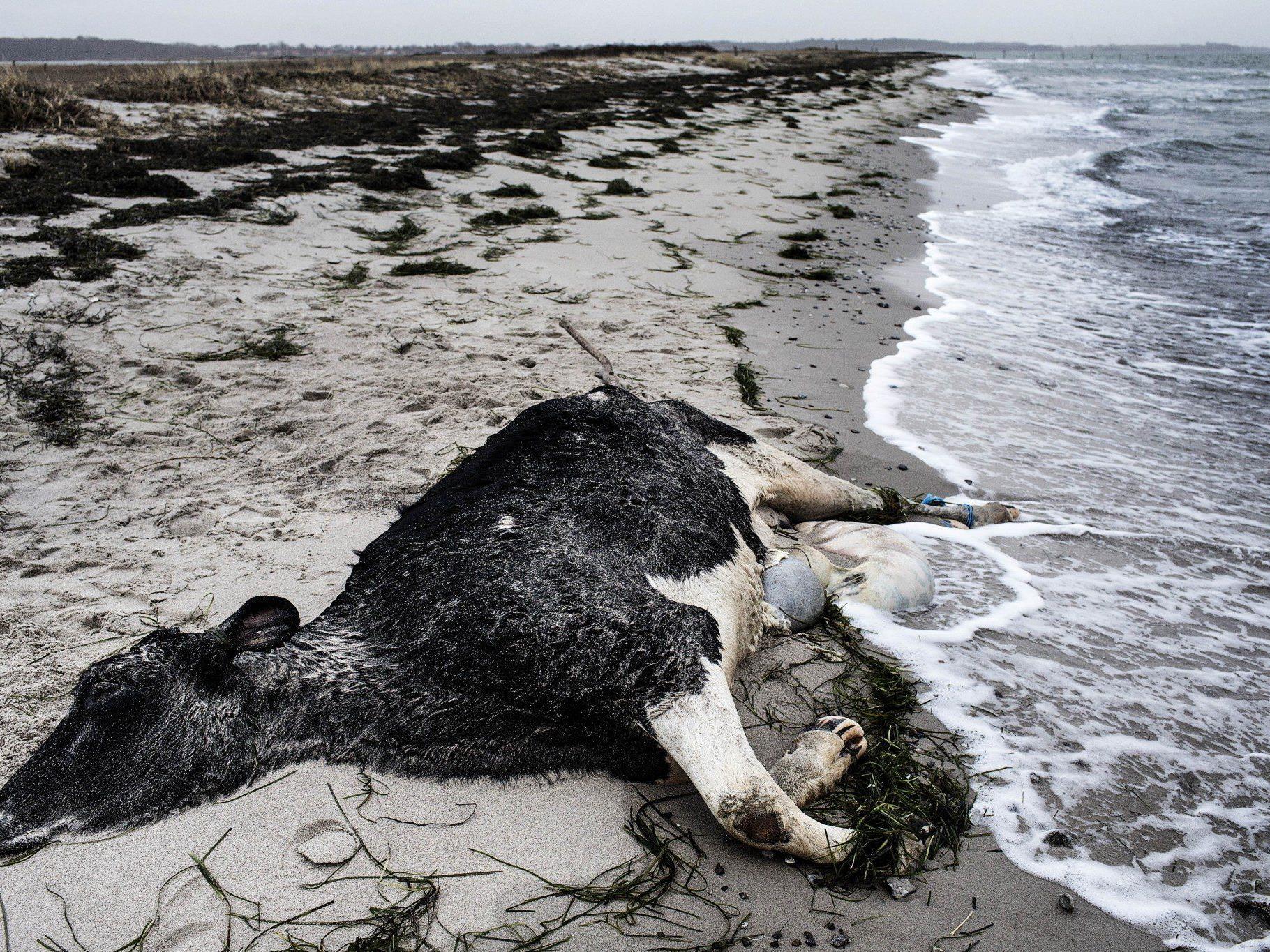Seit Ende Dezember bereits acht Kühe mit zusammengebundenen Beinen an Stränden aufgetaucht.