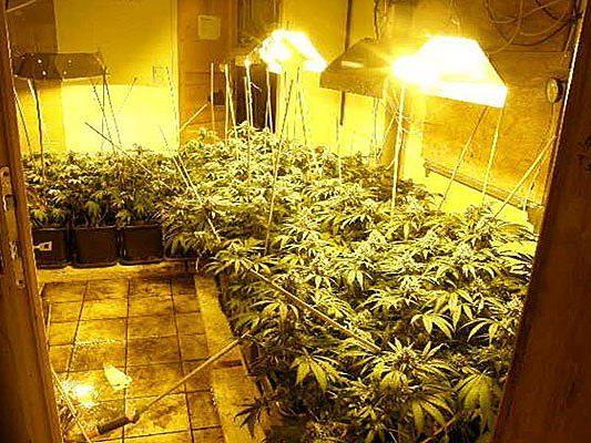 Die gefundene Cannabisplantage