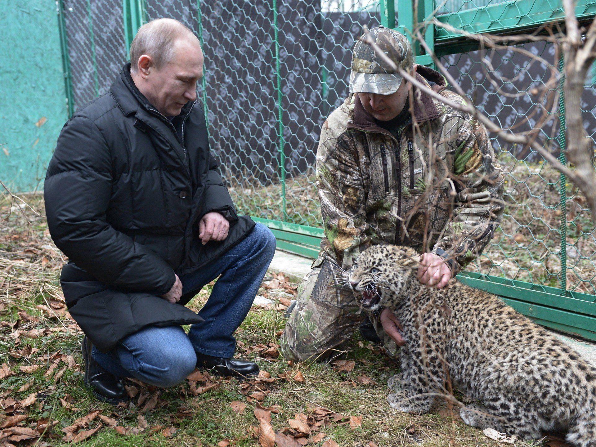 Putin besuchte kaukasischen Leoparden.