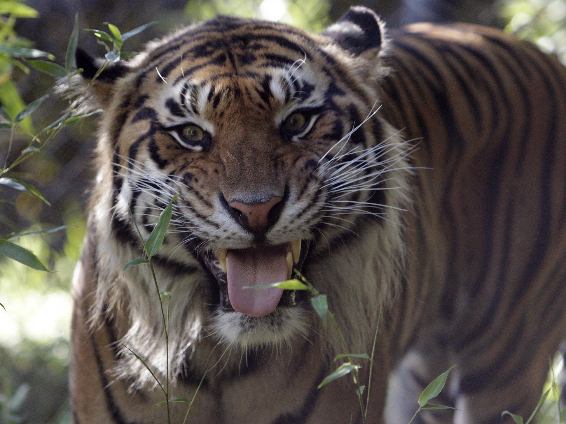 In Indien leben noch 1.700 Tiger.