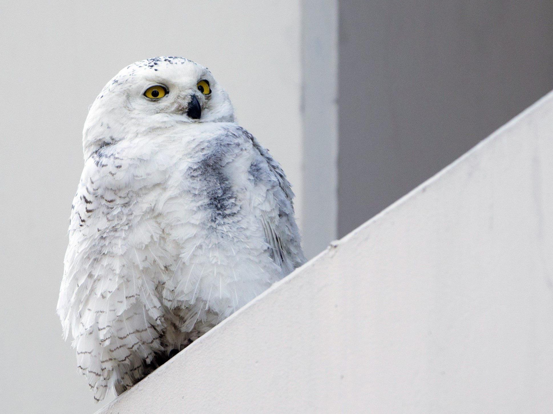 Arktischer Vogel lebt seit rund zehn Tagen in US-Hauptstadt Washington.