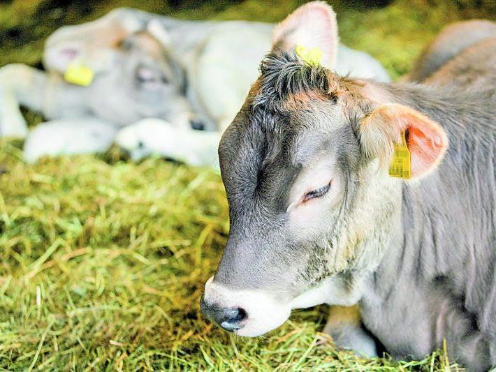Endet das Schicksal vieler Stierkälber in der Tierkadaververwertung? Die Grünen haben Hinweise darauf.