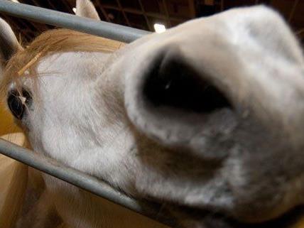 Im burgenländischen Andau wurden mehrere Pferde vergiftet.