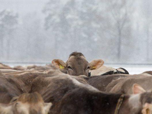 Schnelltests bei zwei Kühen in Bartholomäberg fielen positiv aus