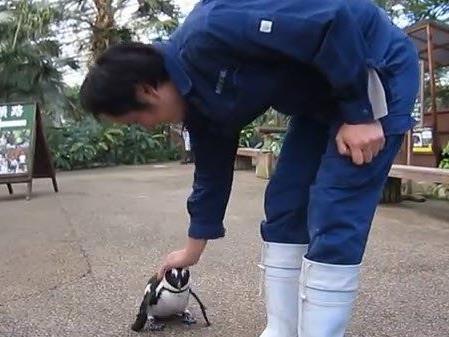Treuer Gefährte: Pinguin Sakura hat ein Auge auf seinen Tierpfleger geworfen.