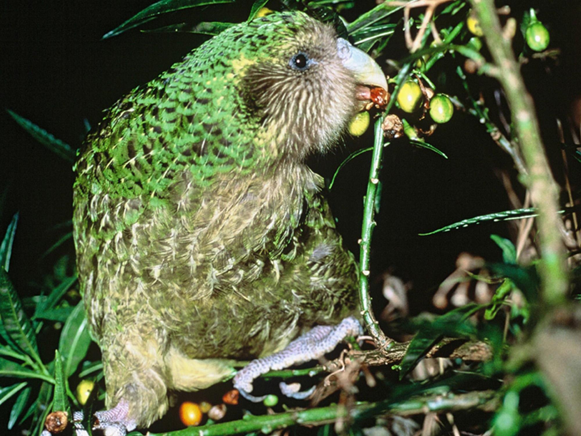 Es gibt nur mehr 125 Exemplare des Kakapo.