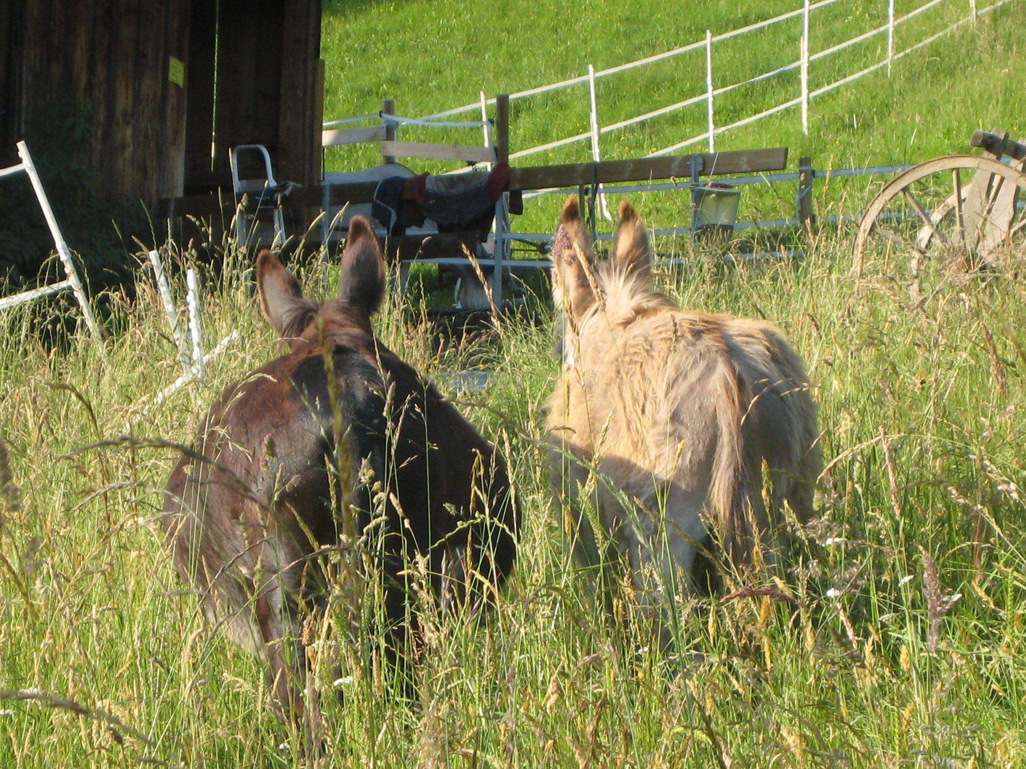 Esel Cleo und Peppi genießen einen Ausflug im hohen Gras