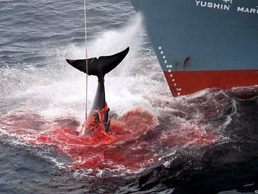 Internationaler Gerichtshof verbot Walfang