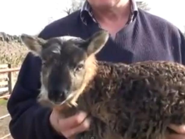 """Kreuzung aus Schaf und Ziege: """"Schiege"""" auf irischem Bauernhof geboren."""