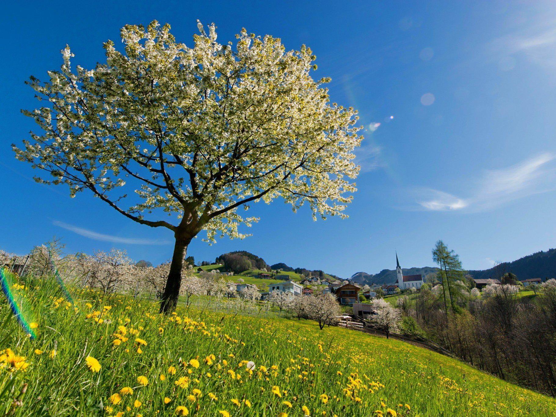 Zumindest an den Vormittagen kann man den Anblick der Kirschbäume in Fraxern ohne Regenschirm genießen.
