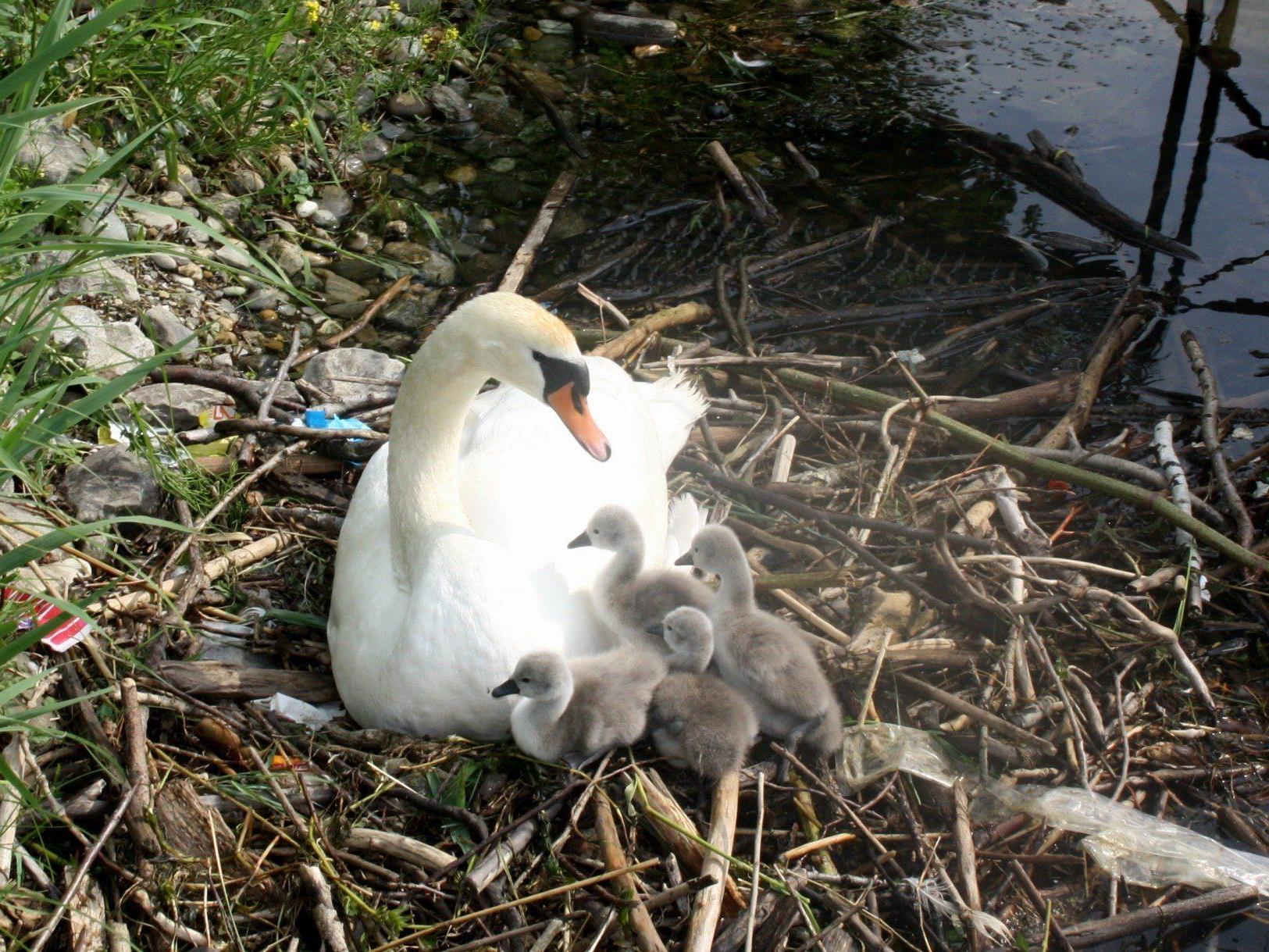 Gleich vierfachen Nachwuchs hat die Schwanenfamilie im Lochauer Hafen.