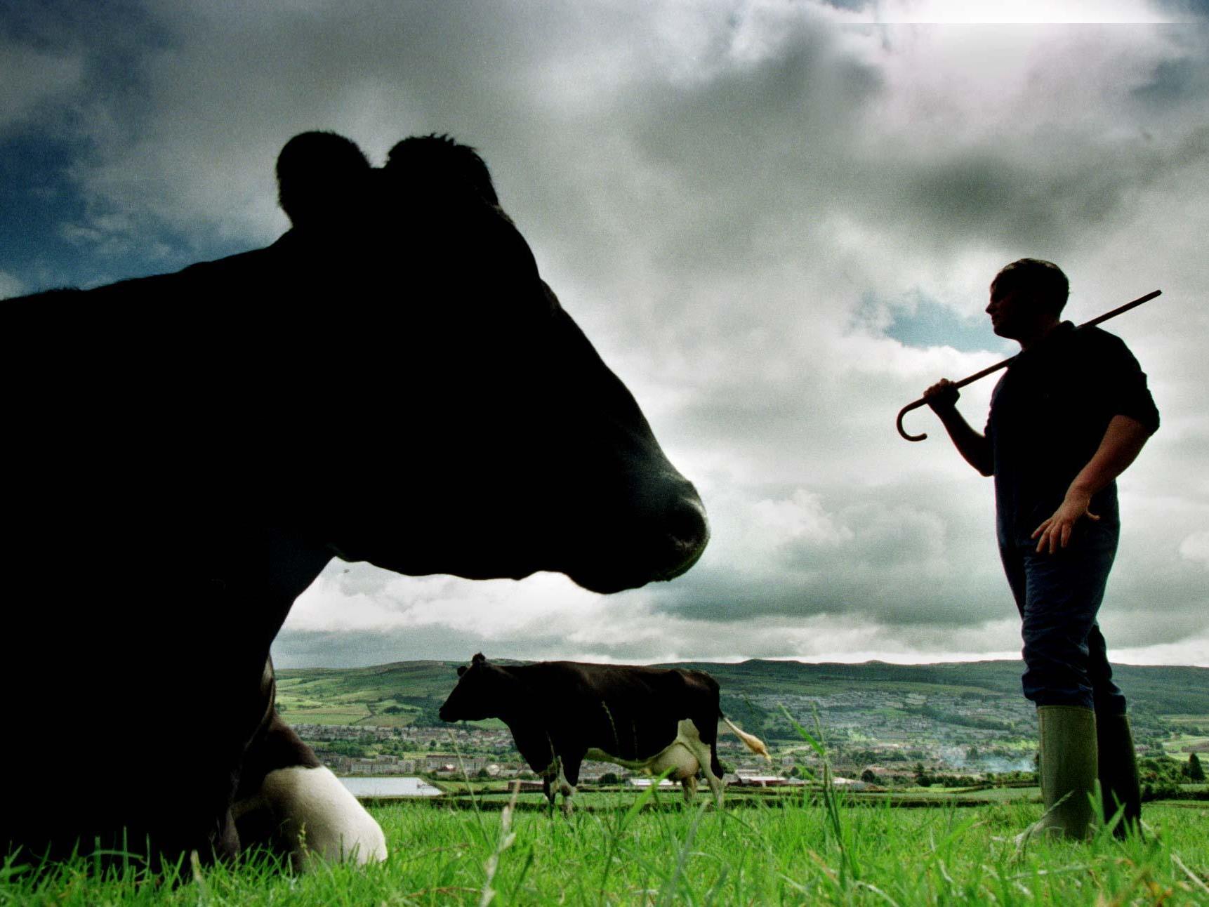 1440 Euro Geldschrafe für Vorarlberger Landwirt für Erschlagen einer Kuh.